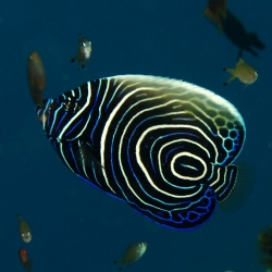 copy of Nemateleotris Decora para acuario marino | Barcelona Reef