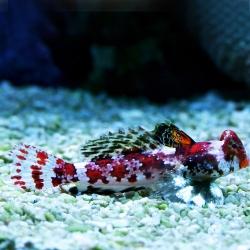 Comprar Synchiropus Stellatus online en Barcelona Reef