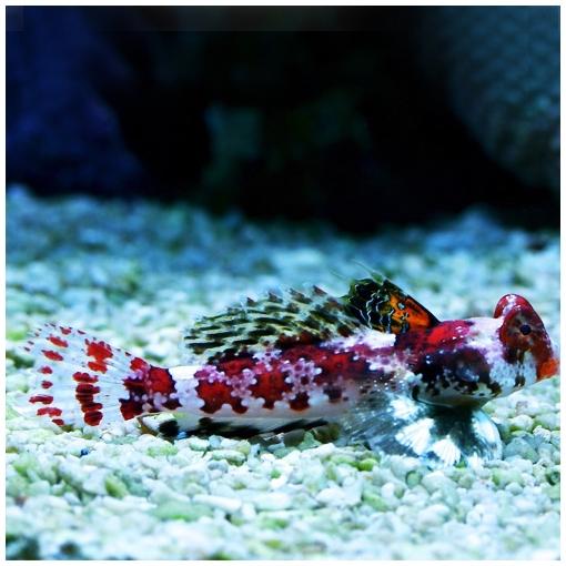 Synchiropus Stellatus para acuario marino | Barcelona Reef