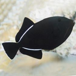 Comprar copy of Labroides Dimitiatus online en Barcelona Reef
