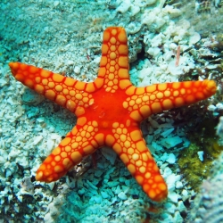 Comprar Echinoder Mata online en Barcelona Reef