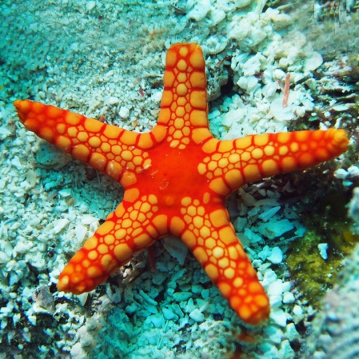 copy of Alpheus SP para acuario marino   Barcelona Reef