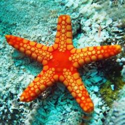 Echinoder Mata para acuario marino | Barcelona Reef