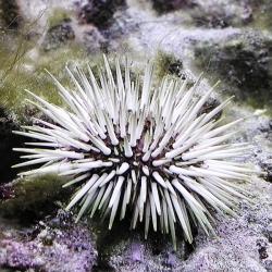 Echinometra SP para acuario marino | Barcelona Reef