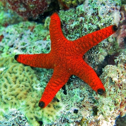Comprar copy of Alpheus SP online en Barcelona Reef