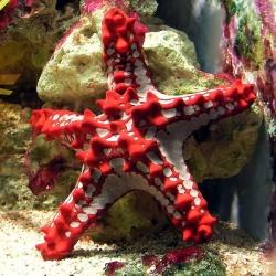 Protoreaster Linckii para acuario marino   Barcelona Reef