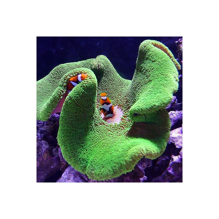 Stichodactyla Haddoni Verde Fluor