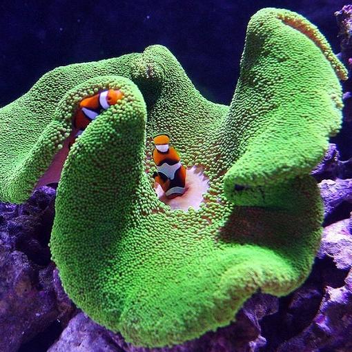 Stichodactyla Haddoni Verde Fluor para acuario marino | Barcelona Reef