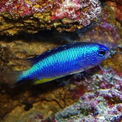 Comprar Pomacentrus AlleniS online en Barcelona Reef