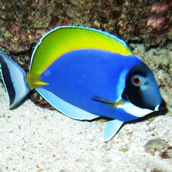 Acanthurus Leucosternon M para acuario marino   Barcelona Reef