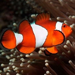 Amphiprion Ocellaris ML Salvaje