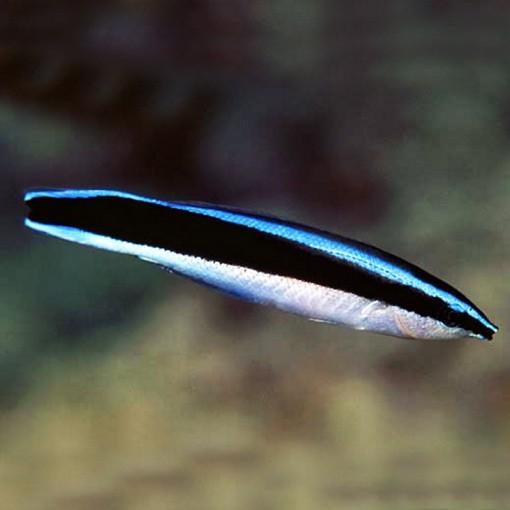 Labroides Dimidiatus Sri Lanka para acuario marino | Barcelona Reef