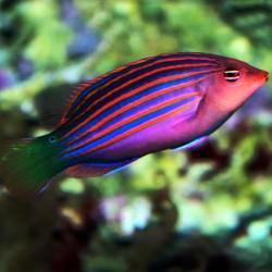 Pseudocheilinus Hexataenia para acuario marino | Barcelona Reef