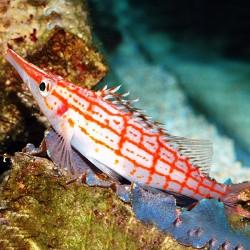 Comprar Oxycirrhites Typus online en Barcelona Reef