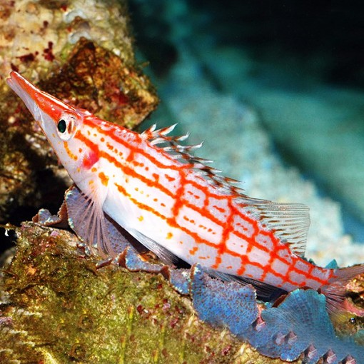 Oxycirrhites Typus para acuario marino   Barcelona Reef