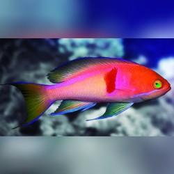 Comprar Pseudanthias Rubrizonatus online en Barcelona Reef