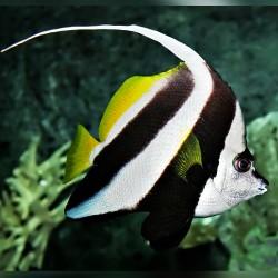 Comprar Heniochus Acuminatus L online en Barcelona Reef