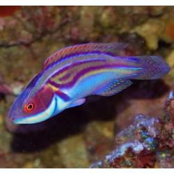 Comprar Cirrhilabrus Laboutei L online en Barcelona Reef