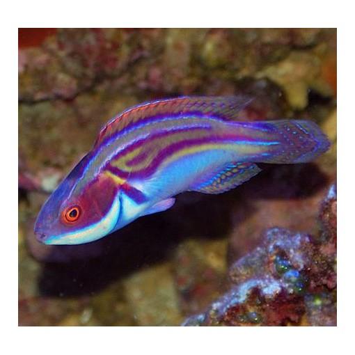 Cirrhilabrus Laboutei L para acuario marino | Barcelona Reef