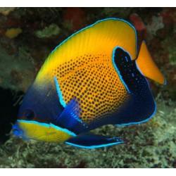 Comprar Pomacanthus Navarchus M online en Barcelona Reef