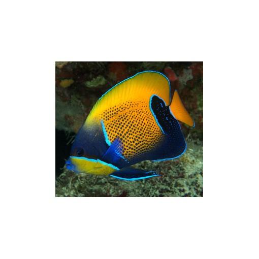 Pomacanthus Navarchus M para acuario marino | Barcelona Reef