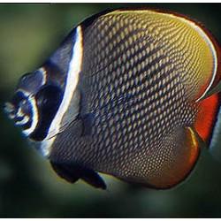 Comprar Chaetodon Collare online en Barcelona Reef