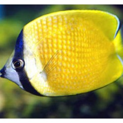 Comprar Chaetodon Kleinii online en Barcelona Reef