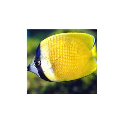 Chaetodon Kleinii para acuario marino | Barcelona Reef