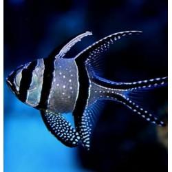 Comprar Pterapogon Kauderni online en Barcelona Reef