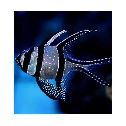 Pterapogon Kauderni para acuario marino   Barcelona Reef