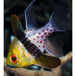 Sphaeramia Nematoptera para acuario marino | Barcelona Reef