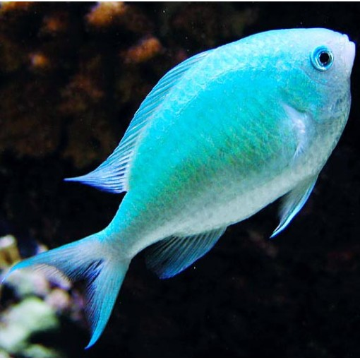 Chromis Viridis para acuario marino | Barcelona Reef