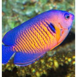Comprar Centropyge Bispinosa online en Barcelona Reef