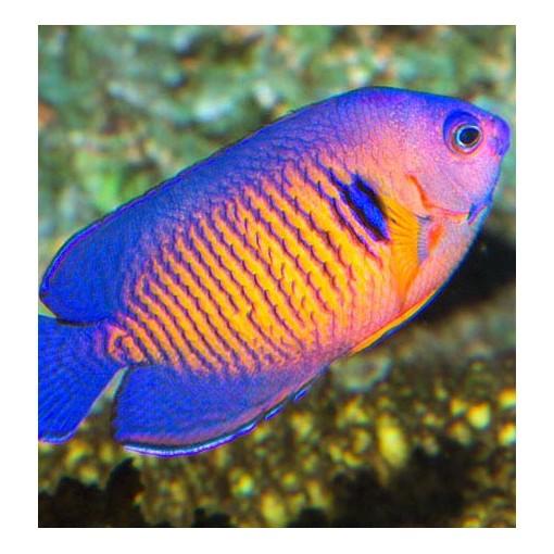 Centropyge Bispinosa para acuario marino | Barcelona Reef