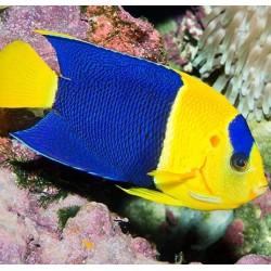 Comprar Centropyge Bicolor online en Barcelona Reef