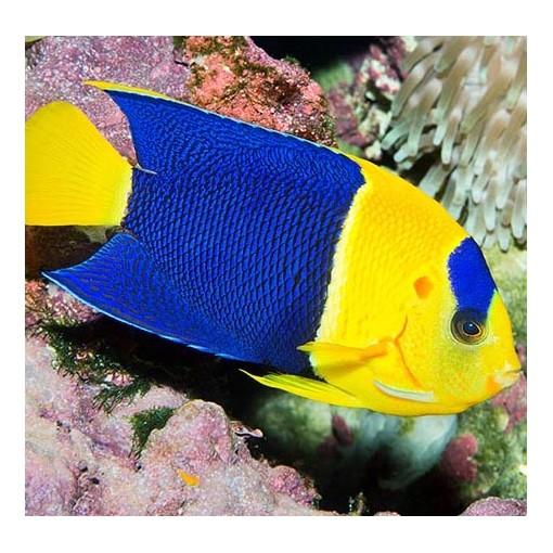 Centropyge Bicolor para acuario marino | Barcelona Reef