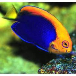 Centropyge Acanthops para acuario marino | Barcelona Reef