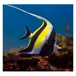 Comprar Zanclus Canescens online en Barcelona Reef