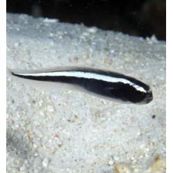 Pholidichthys Leucotaenia S