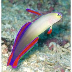 Comprar Nemateleotris Decora online en Barcelona Reef