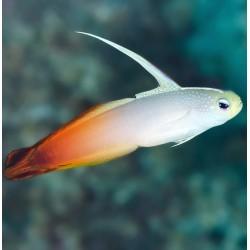 Nemateleotris Magnifica para acuario marino | Barcelona Reef