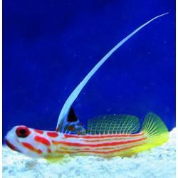 Comprar Stenogobius Yasha online en Barcelona Reef