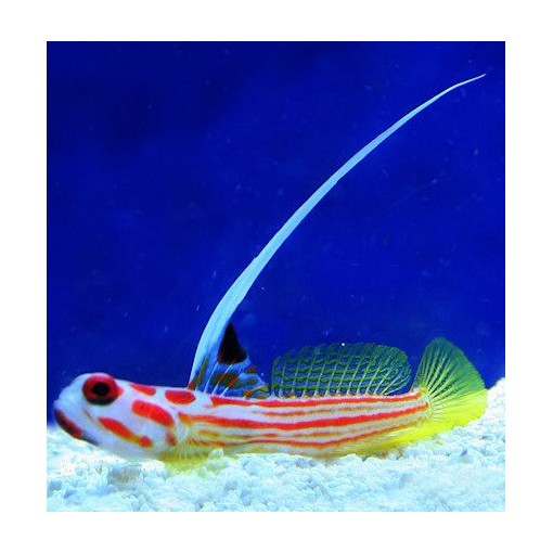 Stenogobius Yasha para acuario marino | Barcelona Reef