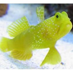Cryptocentrus Cinctus para acuario marino | Barcelona Reef