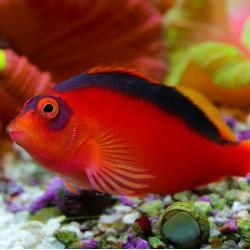Comprar Neocirrhites Armatus online en Barcelona Reef