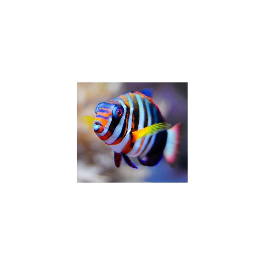 Choerodon Fasciatus S/M