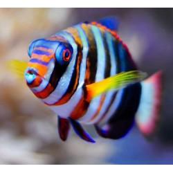 Choerodon Fasciatus S/M para acuario marino | Barcelona Reef