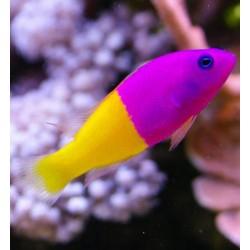 Pictichromis Paccagnellae para acuario marino | Barcelona Reef