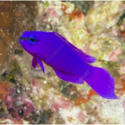 Comprar Pseudochromis Fridmani online en Barcelona Reef
