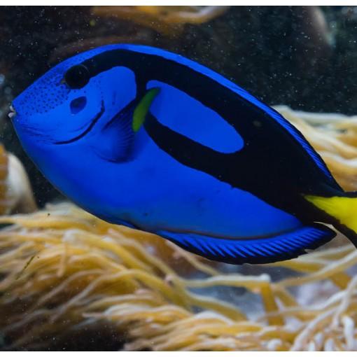 Paracanthurus Hepatus S/M para acuario marino | Barcelona Reef
